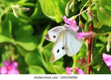 Japanese small white butterfly, Monsirocho in Japanese ( white cabbage butterfly)