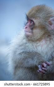 Japanese Snow Monkey enjoying a Hot Spring.