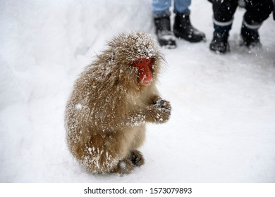 Japanese snow monkey with hairy red face sitting on snow fall winter season with people walking in background, Japan.