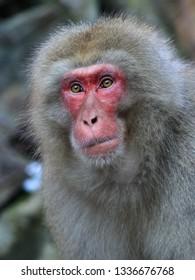 Japanese snow monkey in Jigokudani Yaen-Koen Park in Japan