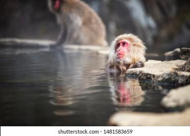 Japanese Snow monkey Macaque bathing on hot spring Onsen with reflection on water at Jigokudani monkey Park in winter, Yamanouchi, Nagano, Japan. Famous landmark and travel destination around Chubu.