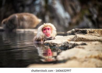 Japanese Snow monkey Macaque bathing on hot spring Onsen with reflect on water at Jigokudani monkey Park in winter, Yamanouchi, Nagano, Japan. Famous travel destination landmark in Chubu.