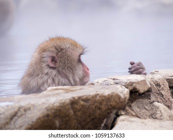Japanese Snow monkey Macaque in hot spring Onsen Jigokudan Park, Nakano,now Monkey Japanese Macaques bathe in onsen hot springs at Nagano, Japan.