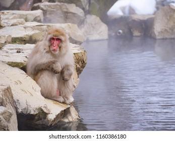Japanese Snow monkey Macaque in hot spring Onsen Jigokudan Park, Nakano,now Monkey Japanese Macaques bathe in onsen hot springs at Nagano, Japan.