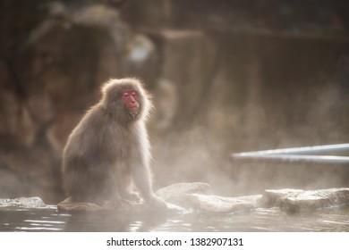 Japanese Snow monkey Macaque with hot water steam at sunset in hot spring Onsen of Jigokudani Park, Yamanouchi, Nagano, Japan. Wild animal breath for refreshment during winter season.