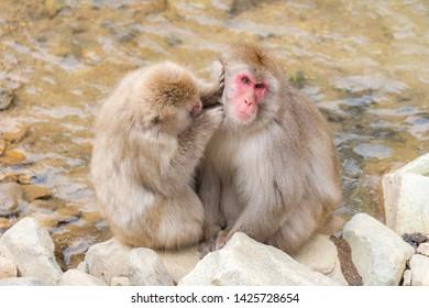 Japanese Snow monkey Macaque in hot spring Onsen Jigokudani monkey Park, Nakano, Japan