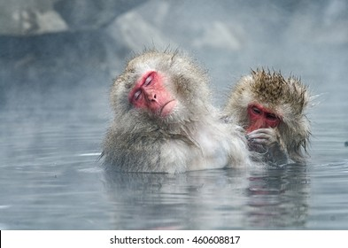 Japanese Snow monkey Macaque in hot spring On-sen Jigokudan Park, Nakano, Japan