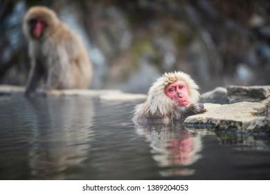 Japanese Snow monkey Macaque relax with hot spring Onsen at Jigokudani monkey Park, Yamanouchi, Nagano, Japan. Famous landmark and travel destination around Chubu.
