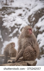 Japanese snow monkey sitting on the stones next to a hot spring, Jigokudani Wild Monkey Park, Yamanouchi-machi, nagano ken, Japan.