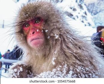 Japanese Snow monkey snow winter lonely feeling in hot spring Onsen Jigokudan Park, Nakano, Japan
