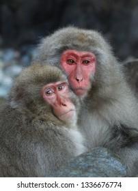 Japanese snow monkeys in Jigokudani Yaen-Koen Park in Japan