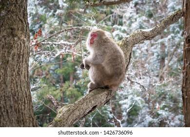 Japanese Snow Monkeys (macaques) in Nagano, Japan. Snow monkeys on tree at Jigokudani Monkey Park, located in Yamanouchi, Nagano Prefecture, Japan.