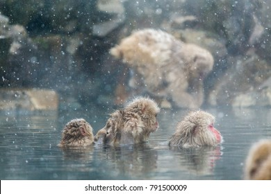 Japanese snow monkeys  in a natural onsen at Jigokudani,Japan