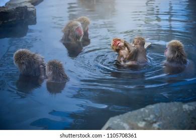 Japanese Snow Monkeys relaxing at onsen hot springs Yudanaka, Nagano, Japan