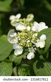 Japanese Snowball Viburnum Bush