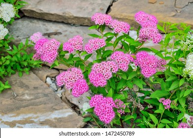 Japanese spirea (Spiraea japonica) bushes with delicate pink and white  flowers in stone gargen close up. Gardening, floriculture, landscaping, landscape design concept. Beauty of nature