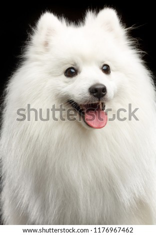 Japanese Spitz Dog On Isolated Black Stock Photo Edit Now