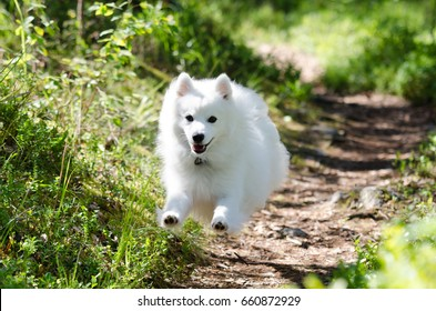 Japanese spitz dog running