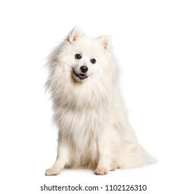 Japanese Spitz dog sitting, isolated
