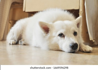 Japanese Spitz Dog Sleeping Lying Resting on the Floor Tired Listening Bored at Home