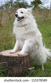 Japanese spitz dog standing on a log outside in a meadow. The breed origin is Japan, its temperament is playful, affectionate, intelligent, obedient, companionable, proud ideal family dog.