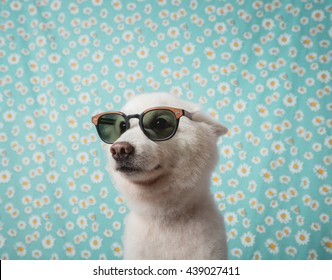 Japanese Spitz Dog with sunglasses