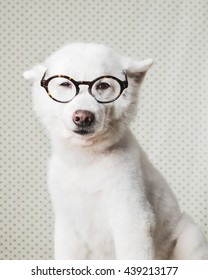 Japanese Spitz with glasses