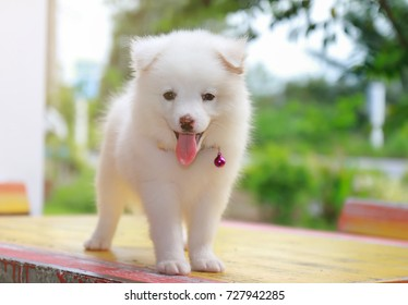 The Japanese spitz is a great skill.And cute, friendly to people.