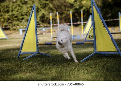 Japanese Spitz jumping over an obstacle on the agility course
