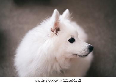 Japanese Spitz pet dog