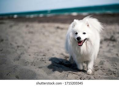 Japanese Spitz running on a beach
