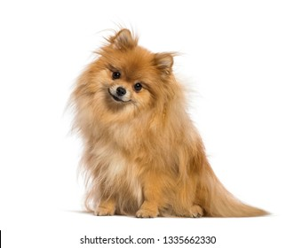 Japanese Spitz sitting in front of white background