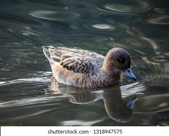 A Japanese spot billed duck floats on a fishing pond in a park in central Kanagawa, Japan.