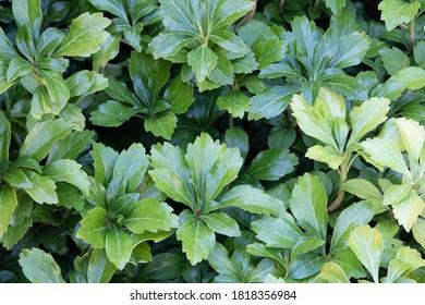 Japanese Spurge (pachysandra terminalis 'Green Sheen')