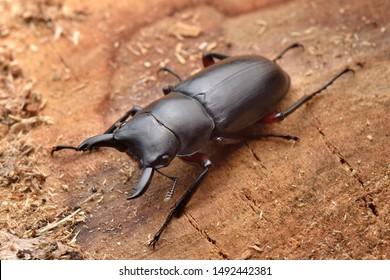 Japanese stag beetle. Dorcus rubrofemoratus
