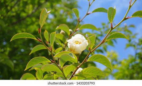 Japanese stewartia deciduous tree with beautiful white flower and green leaves on branches close up. Also known as Stewartia pseudocamellia, Korean stewartia, Deciduous camellia.