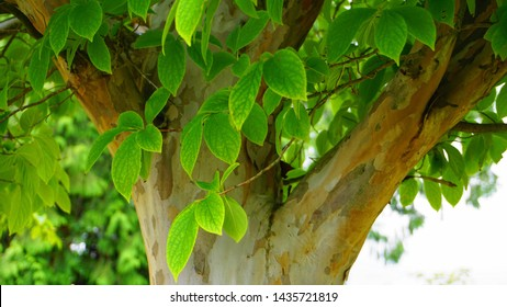 Japanese stewartia deciduous tree with bright green leaves on branches, trunk and distinctive bark is smooth textured close up. Known as Stewartia pseudocamellia, Korean stewartia, Deciduous camellia.