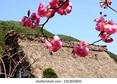 Japanese style image of an old house with a thatched roof and cherry blossoms in spring.