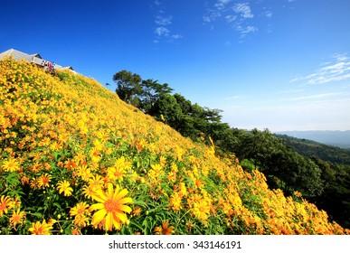 Japanese sunflower field at Doi Mae U Kho, Mae Hong Son. Thung Bua Tong Fields.