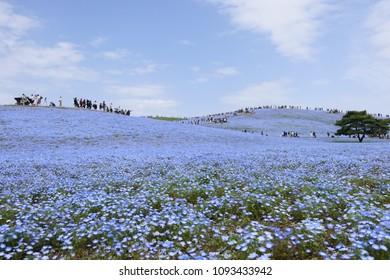 Japanese superb view.A field of nemophila flowers.Hitachinaka Ibaraki Japan.The middle of April.