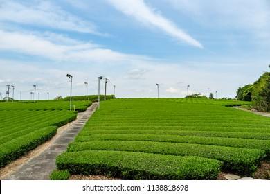 Japanese tea farm