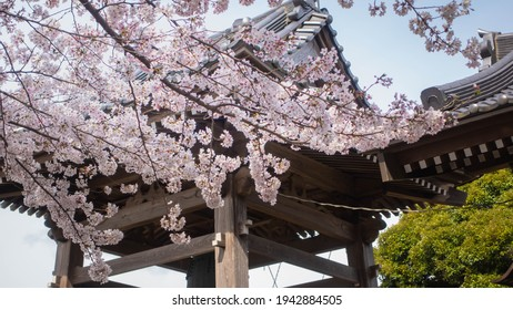 Japanese temples and cherry blossoms in full bloom