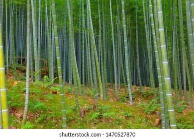 Japanese texture - green bamboo grove background in Arashiyama (Kyoto).