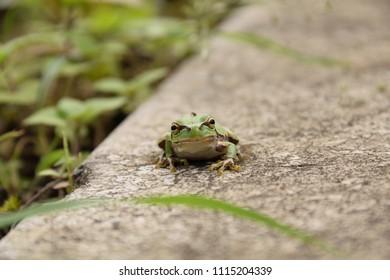 "Japanese tree frog - Hyla japonica. It is called ""Nihon amagaeru"" in Japan."