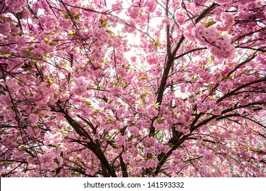 japanese tree with pink flowers