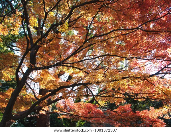 Japanese tress in the fall