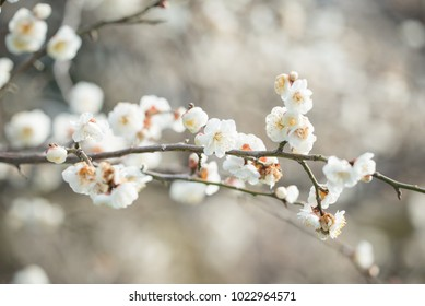 Japanese White Apricot Blossoms