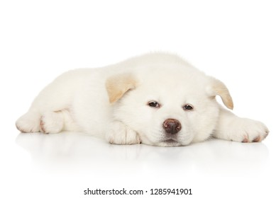 Japanese white color Akita-inu puppy resting on white background. Baby animal theme