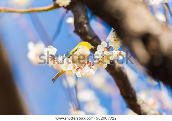 The Japanese White eye.The background is white plum blossoms. Located in Shinjuku, Tokyo Prefecture Japan.