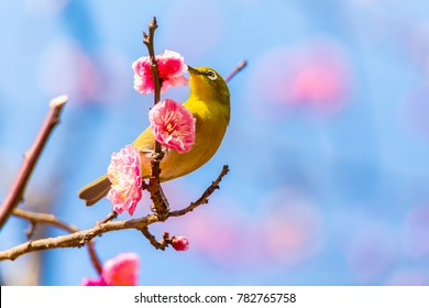 The Japanese White eye.The background is red plum blossoms.Located in Tokyo Prefecture Japan.
